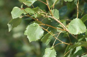 Дрожать как осиновый лист