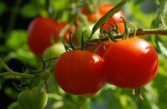 Томат и помидор - что это такое и отличия