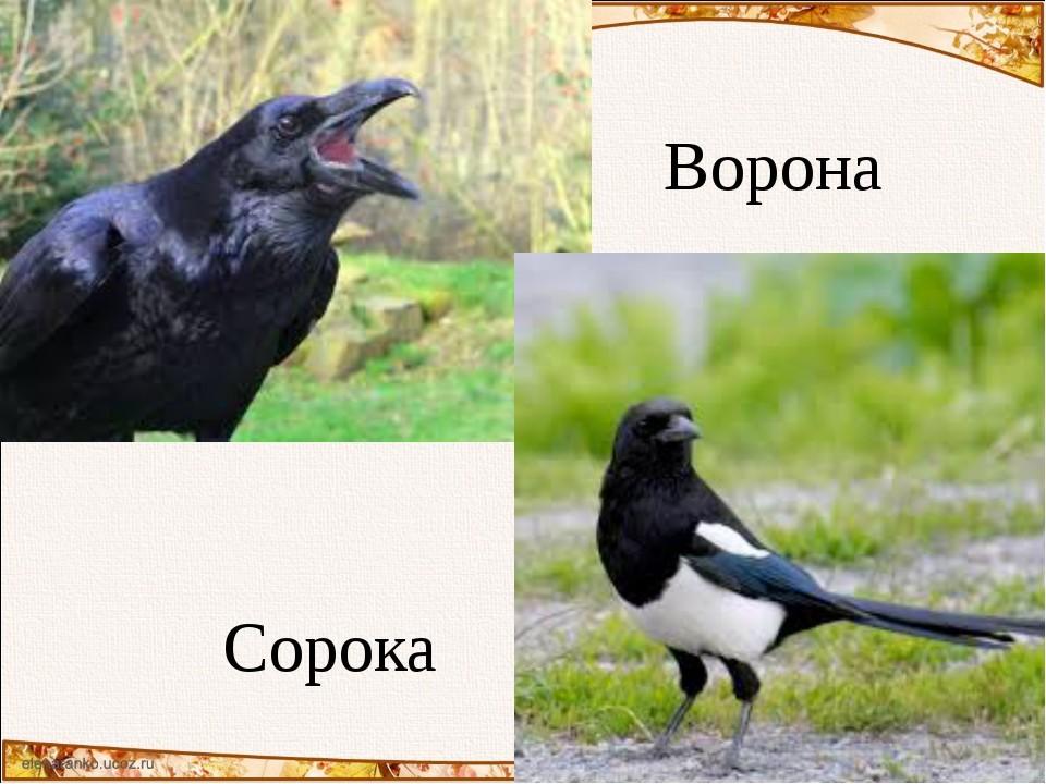 Сорока и ворона – что это такое и отличия