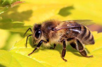 Пчела и шмель - кто это и отличия