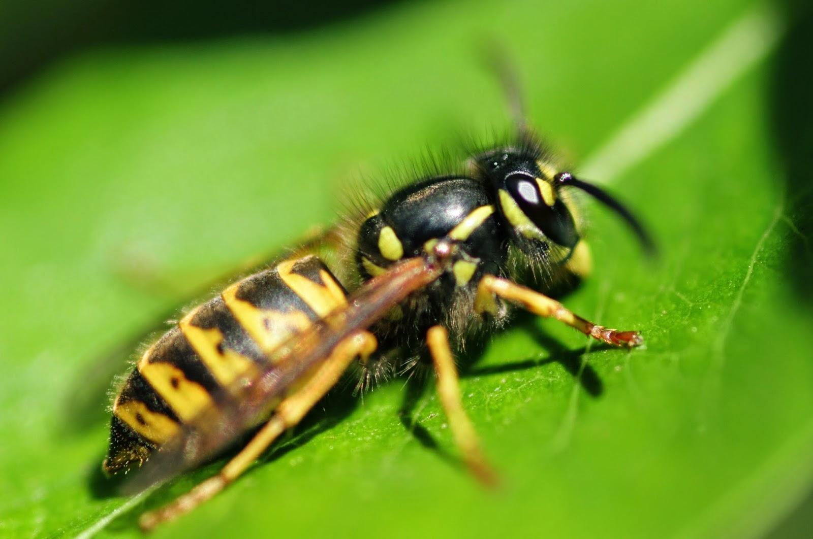 Пчела и оса – кто это и отличия